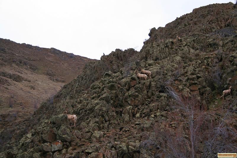 Picture of bighorn sheep on rocky hillside above oxbow reservoir in hells canyon