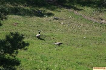 neinmeyer forest camp geese