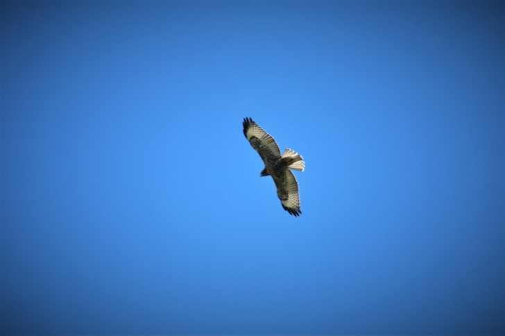 A picture of a bird of prey hunting over Hard Creek Basin.