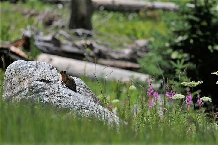 A picture of a ground squirrel that came out to look at me as I passed his rock.