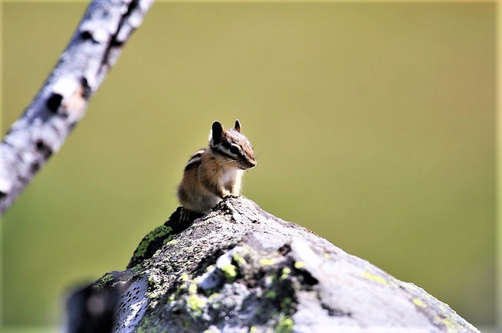 A chipmunk on a rock looking my way.