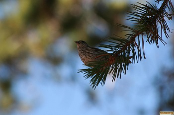 picture of a bird on a pine bough