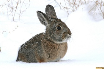 Cottontail rabbit in the snow.