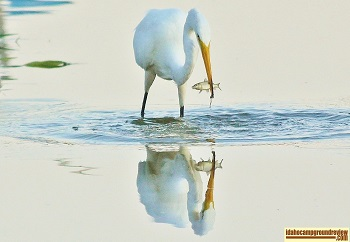 Snowy Egret with fish reflected in the water of Marsing Ponds, Marsing, Idaho