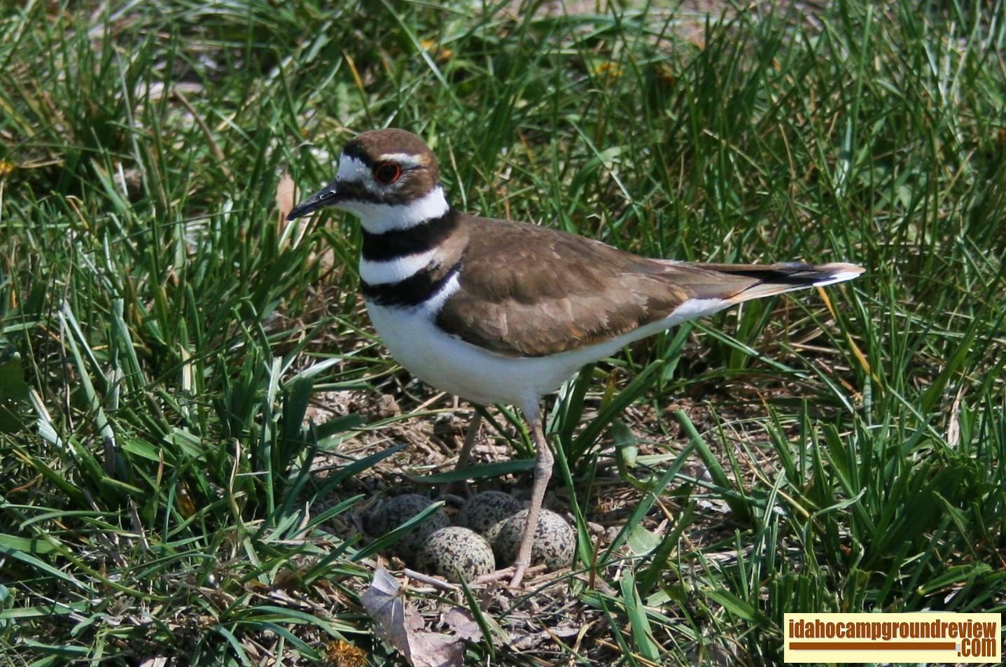 killdeer standing guard over her nest